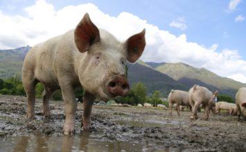 Unión de Uniones pide prohibir la importación de lechones hasta que se controlen los focos de PPA
