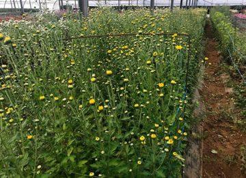 Los productores de flores afrontan Todos los Santos sumidos en el pesimismo