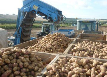 Estudios en Reino Unido muestran una gran reducción de defectos en patata utilizando la gama Ecoculture