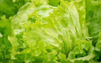 Estudios realizados por Tradecorp confirman que los bioestimulantes mejoran la calidad nutricional de la lechuga Iceberg