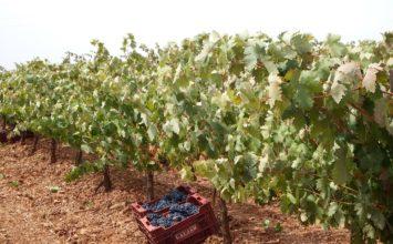 Andalucía produce un 3% del vino de nuestro país, Castilla la Mancha más de la mitad