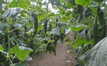 UPA pide una extensión de norma para Hortiespaña para evitar en el futuro crisis como la del pepino