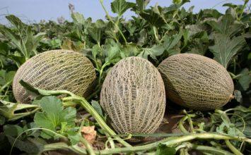 Fitó lidera la oferta de melón piel de sapo para Murcia y Castilla-La Mancha con Paredes, Ceferino y Arroyo
