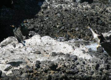 Medio Ambiente confirma la presencia de 24 parejas repro-ductoras de cormorán moñudo