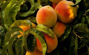 El melocotón y la nectarina acaparan casi dos tercios de la superficie destinada a frutales de hueso en Andalucía