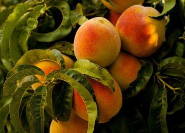 Arranca la campaña de fruta de hueso