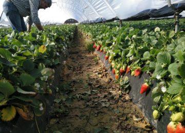La almeriense Ecoculture reduce al 95% la incidencia de puntas blandas en fresas en fincas onubenses