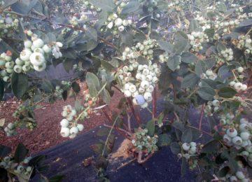 Una empresa almeriense logra reducir el arrugamiento en arándano Ventura