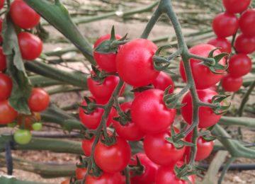Vellsam mejora el proceso de maduración del fruto y la fotosíntesis de las hojas