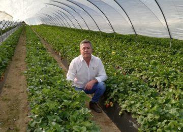 Vellsam consigue más de un 25% de dulzor y tamaño en fresas de Huelva durante el invierno