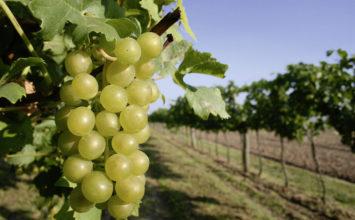 Ascenza amplía la familia Spyrit con dos nuevas soluciones anti mildiu para viña