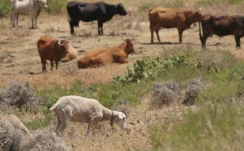 La Junta comienza a distribuir 6,7 millones de dosis de vacunas para proteger al ganado frente a la lengua azul