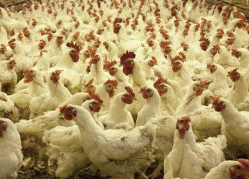 Unión de Uniones defiende las granjas avícolas de modelo familiar  frente a las macrogranjas