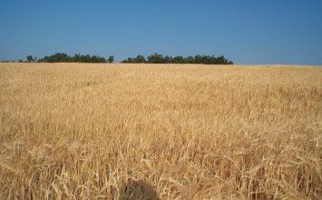 La caída de la producción mundial de trigo duro debería suponer un repunte en los precios para los productores europeos