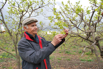 Después de mucho años cultivando caquis, Miguel se ha convertido en un especialista