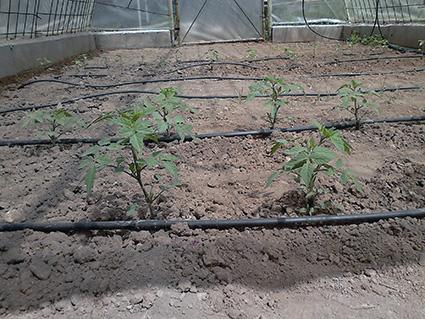 En primer plano los tomates de Diego