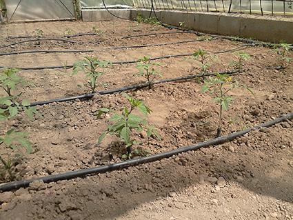 Tomates y pimientos (al fondo) de Diego