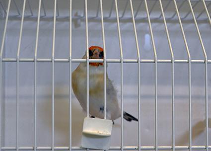 06-XLVI-ornitologia-variedad-de-jilguero-major-IEC
